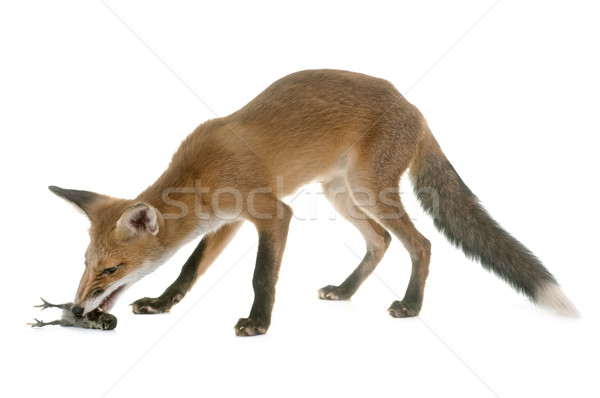Fox manger chiches rouge blanche alimentaire Photo stock © cynoclub