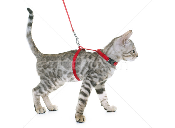 silver bengal kitten and harness Stock photo © cynoclub