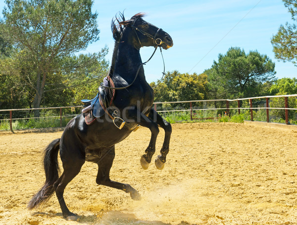 rearing black stallion Stock photo © cynoclub