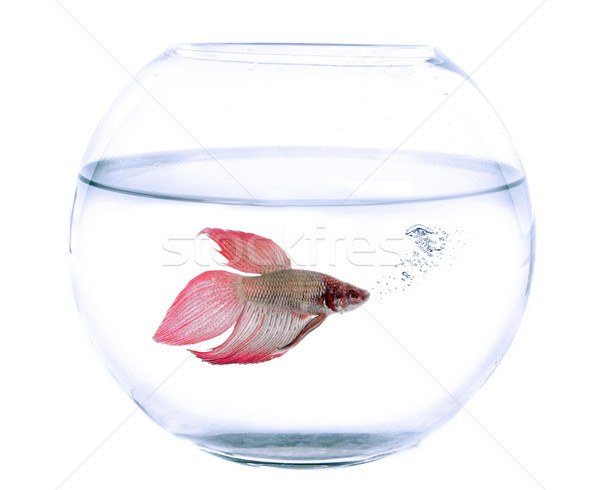 fishbowl and Siamese fighting fish Stock photo © cynoclub