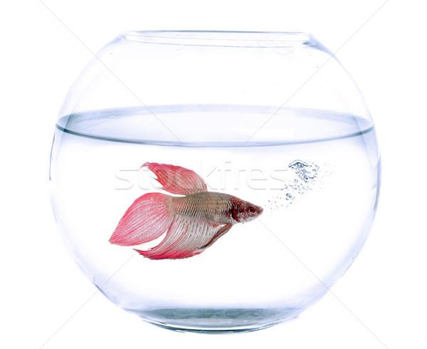 Aquário peixe branco vermelho estúdio Foto stock © cynoclub