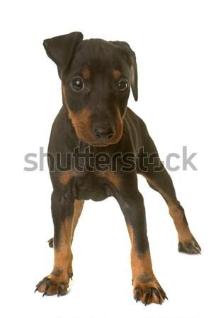 Köpek yavrusu terriyer beyaz Stok fotoğraf © cynoclub