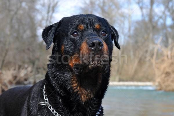 ıslak rottweiler portre doğa kış Stok fotoğraf © cynoclub