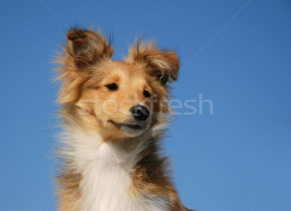 Puppy herdershond portret blauwe hemel hemel Stockfoto © cynoclub