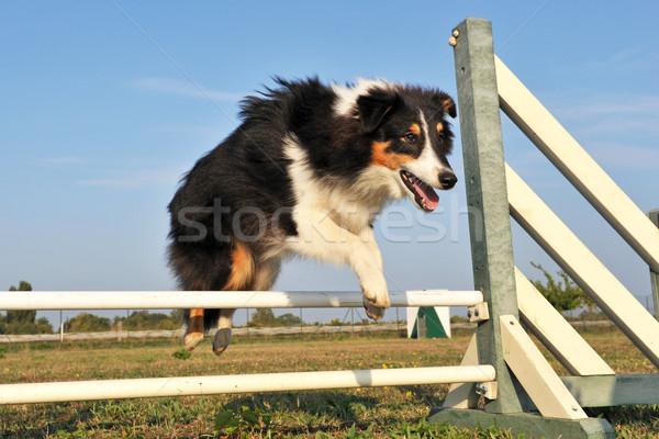 shetland in agility Stock photo © cynoclub