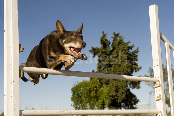 kelpie in agility Stock photo © cynoclub