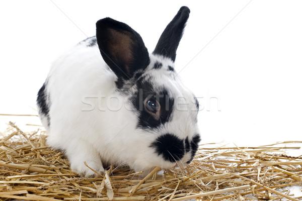 Enano conejo retrato cute vacaciones Foto stock © cynoclub