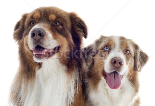 Foto stock: Australiano · cão · retrato · branco · masculino