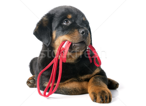 rottweiler and leash Stock photo © cynoclub