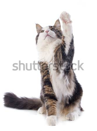 Spelen Maine kat portret witte Stockfoto © cynoclub