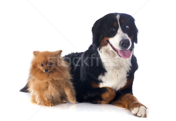 bernese moutain dog and spitz Stock photo © cynoclub