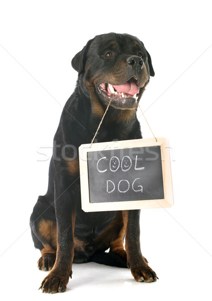 rottweiler and placard Stock photo © cynoclub