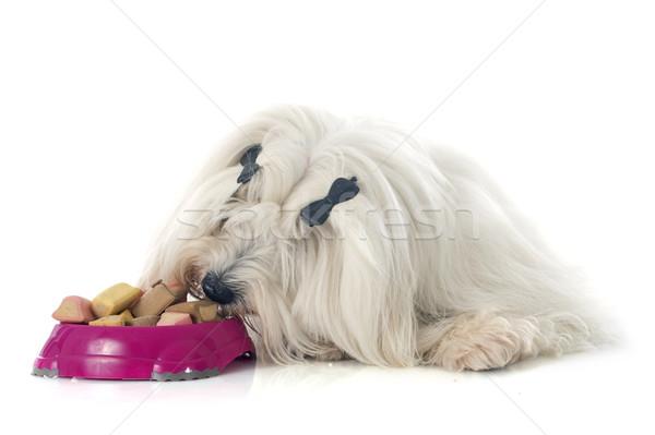 eating coton de tulear Stock photo © cynoclub