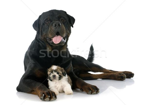 puppy shitzu and rottweiler Stock photo © cynoclub