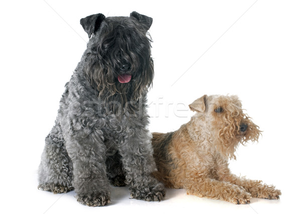 kerry blue  and lakeland terrier Stock photo © cynoclub