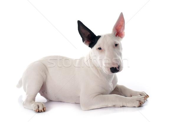 puppy bull terrier Stock photo © cynoclub