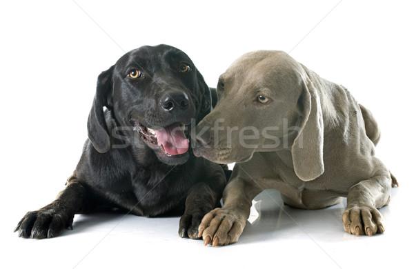 Labrador retriever hond zwarte huisdier volwassen witte achtergrond Stockfoto © cynoclub