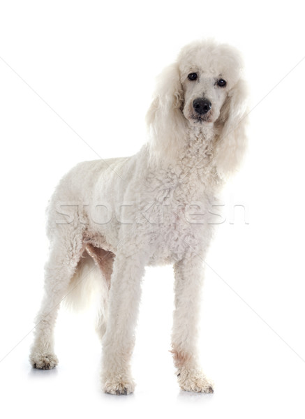 standard poodle Stock photo © cynoclub