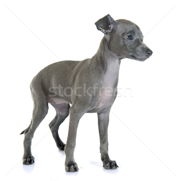 Foto stock: Cachorro · italiano · galgo · blanco · azul