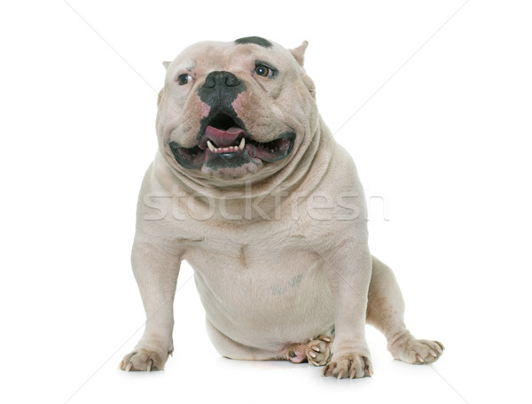 white american bully Stock photo © cynoclub