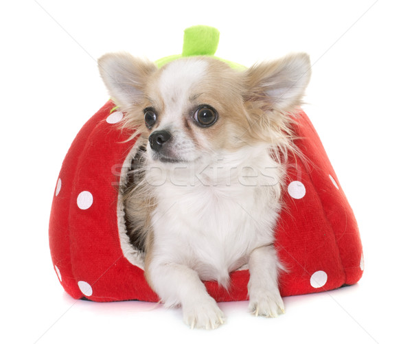chihuahua in dog bed Stock photo © cynoclub