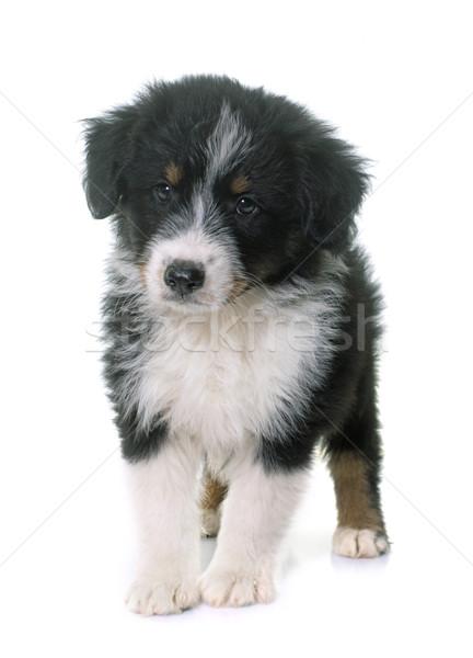 子犬 オーストラリア人 羊飼い スタジオ 白 黒 ストックフォト © cynoclub