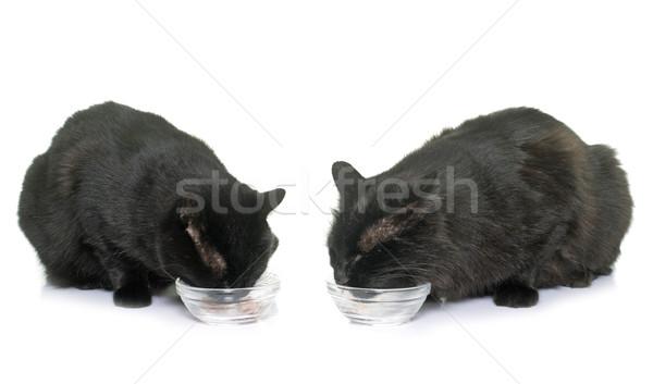 cats eating on studio Stock photo © cynoclub