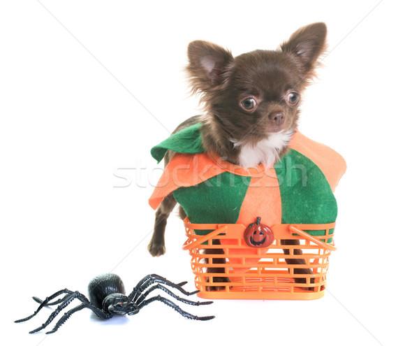 Сток-фото: щенков · Хэллоуин · белый · Spider · ПЭТ · белом · фоне