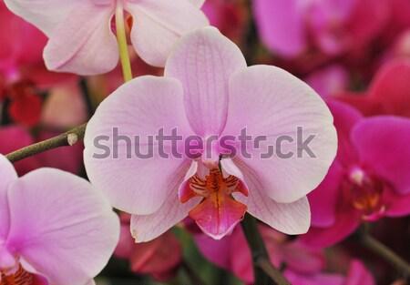 phalaenopsis Stock photo © cynoclub