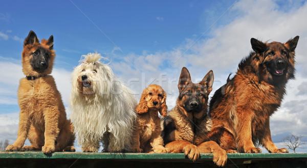Photo stock: Cinquième · chiens · chiots · couché · séance · table