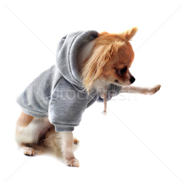 Stock photo: dressed chihuahua