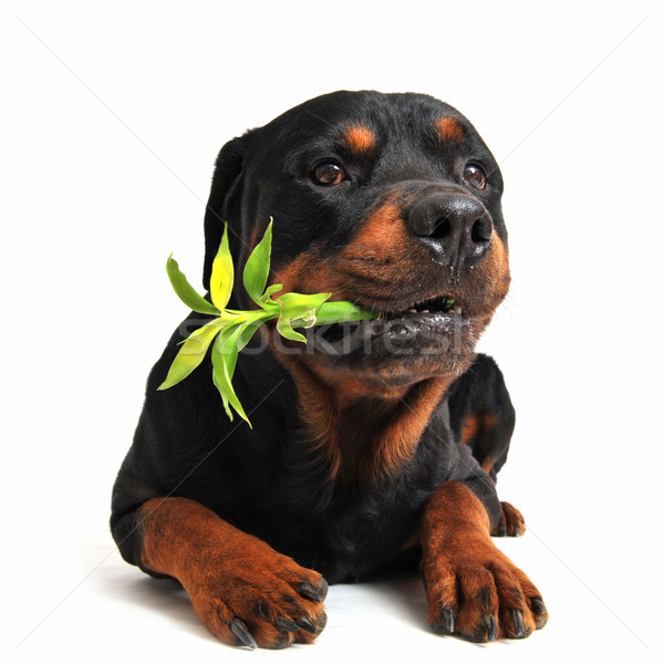 Rottweiler chanceux bambou blanche Photo stock © cynoclub