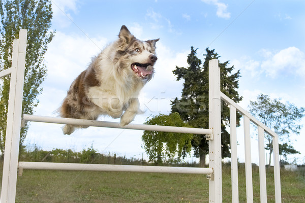 jumping  border collie Stock photo © cynoclub