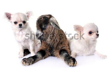 dogs and guinea pig Stock photo © cynoclub