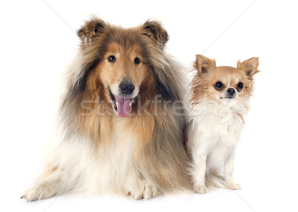 rough collie and chihuahua Stock photo © cynoclub
