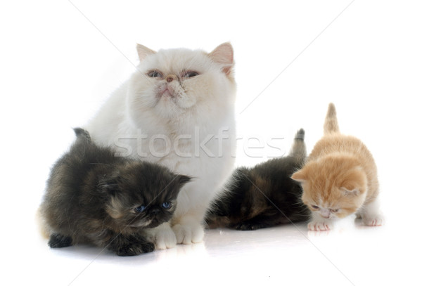persian kitten and adult Stock photo © cynoclub