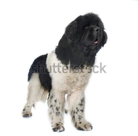 Dorosły nowa fundlandia psa biały czarny Zdjęcia stock © cynoclub