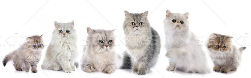 Famille chats blanche chat groupe Homme Photo stock © cynoclub
