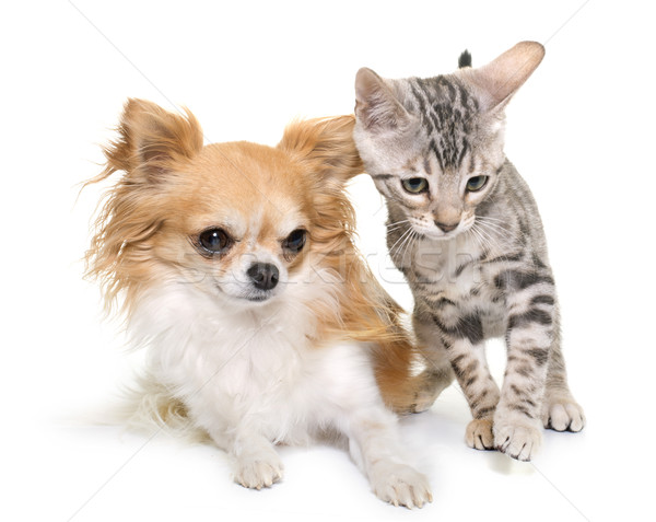 silver bengal kitten and chihuahua Stock photo © cynoclub
