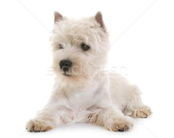 西 白 テリア 子犬 スタジオ ストックフォト © cynoclub