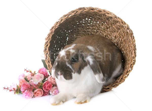 Dwarf lop-eared rabbit Stock photo © cynoclub