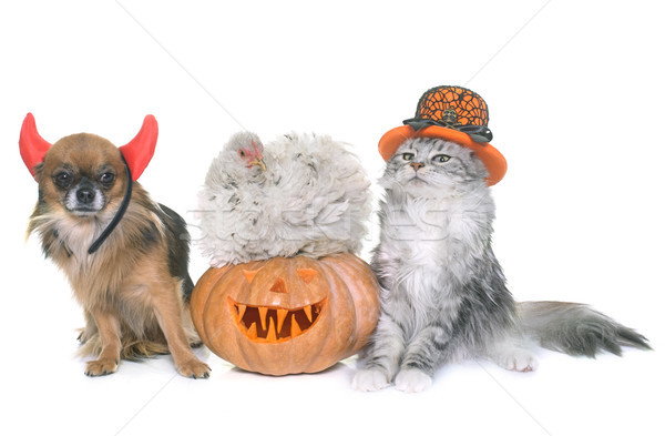 halloween pumpkin and pet Stock photo © cynoclub