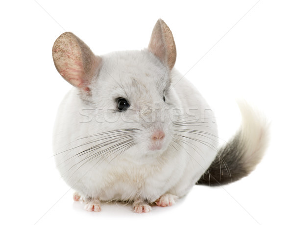 Chinchilla mains adulte blanche animaux studio Photo stock © cynoclub