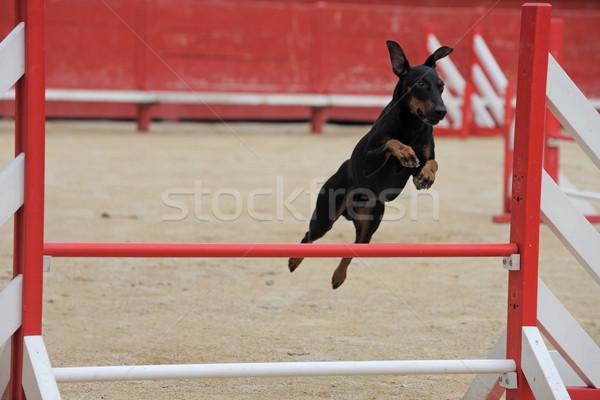 Manchester terrier mozgékonyság portré fajtiszta verseny Stock fotó © cynoclub