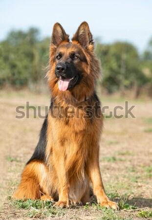 Pastore belga bella cane animale pet Foto d'archivio © cynoclub
