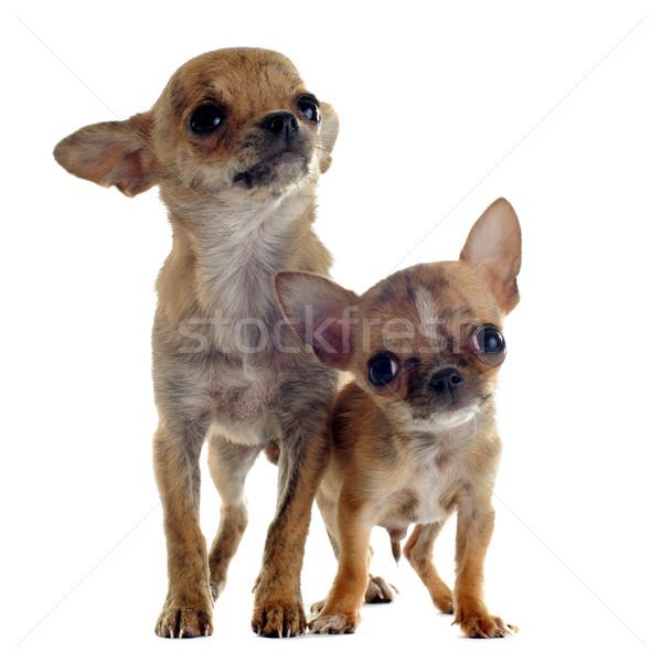 Сток-фото: щенки · портрет · Cute · собака · молодые
