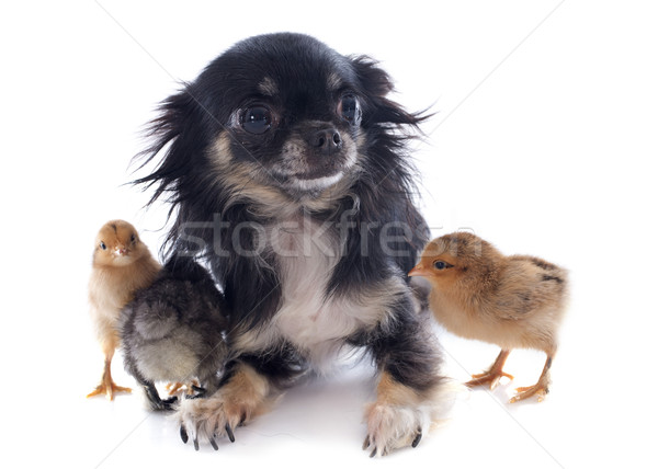 young chicks and chihuahua Stock photo © cynoclub