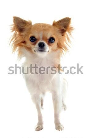 Kínai kutya fehér bőr gyöngy díszállat Stock fotó © cynoclub