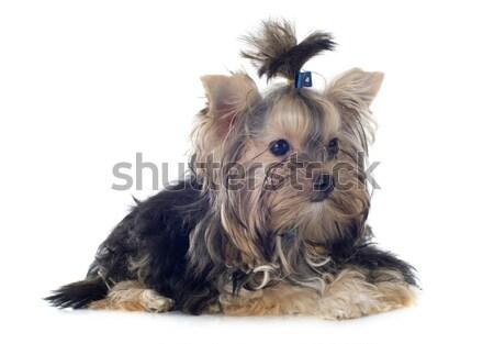 Foto stock: Cachorro · yorkshire · terrier · branco · cão · outono