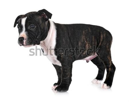 Rottweiler portre beyaz stüdyo Stok fotoğraf © cynoclub